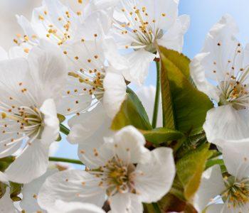 cerezos-flores1
